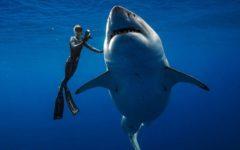 Great White Shark of Hawaii